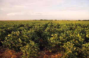 Soybean field. Photo: Big Grey Mare, Flickr (click photo to view photostream)