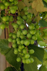Grapes growing outside of Prairie Moon Winery (near Ames, Iowa). Photo: rwmsn, flickr (click to view photostream)