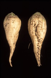 Two sugar beets. From the USDA via wikipedia. (USDA you are awesome)