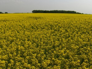 Field of Canola in Bloom. Photo: Joe Shlabotnik, flickr (click photo to view Joe's photostream)