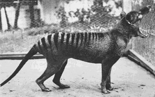 Photo of the last living Tasmanian Tiger.