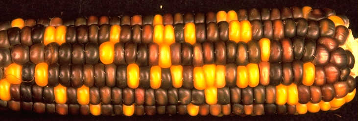 A single maize ear with kernals of two colors resulted from different versions of a single gene (c1). Photo credit: MaizeGDB