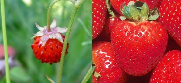 Wild strawberry (left) and domesticated strawberry (right)
