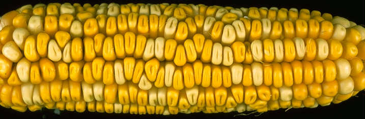Yellow and white corn kernals on the same ear. The difference is controlled by a gene named y1.