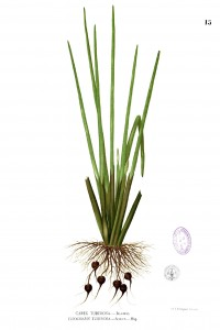 Botanical illustration of Eleocharis dulcis, the Water Chestnut