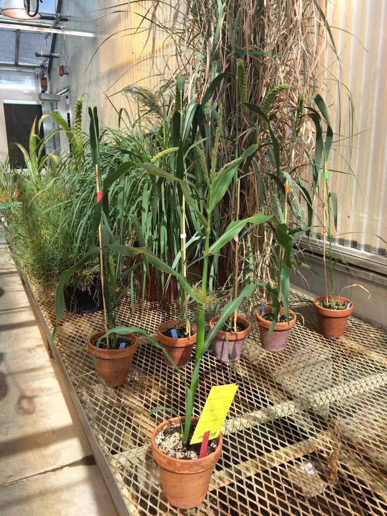 Minimaize in foreground with mature foxtail millet (Setaria italica) for scale. I didn't have any more normal maize accessions growing in the greenhouse at the same time.