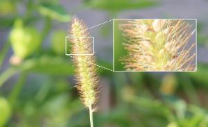 Setaria pumila (yellow foxtail).